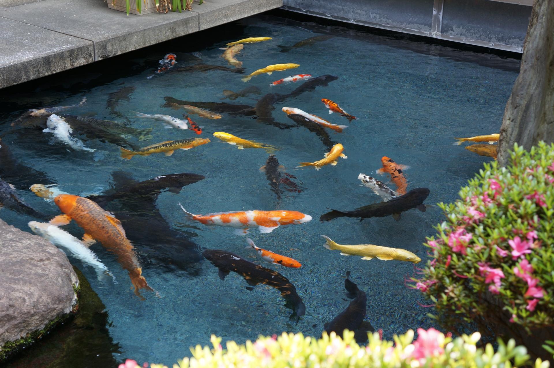 新潟県発祥の錦鯉。赤や白の鯉などを交配させて作り上げてきた。県内で品種改良や養殖が行われ、現在は全国各地に養殖業者が点在。日本国内だけではなく近年は海外への輸出が拡大している。